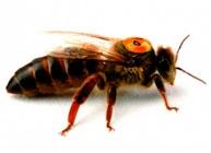 Пчеломатки, пчелопакеты