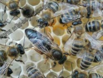 Пчеломатка породы КАРНИКА (г.Сочи Краснодарский край). Линии Альпийская карника и тройзек.