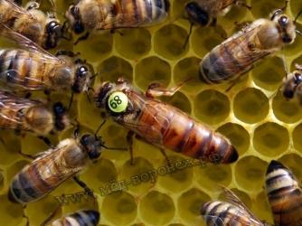 Пчеломатка породы БАКФАСТ (г.Сочи Краснодарский край) Линия Б144